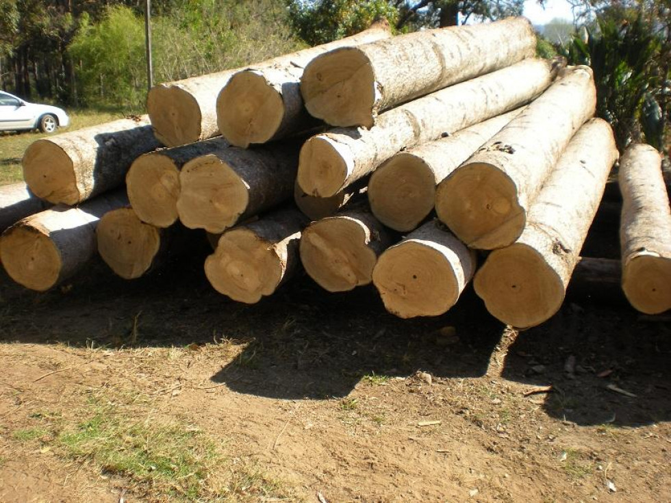 Ділова деревина павловнії. До такої товщини дерево може вирости за 6-8 років.