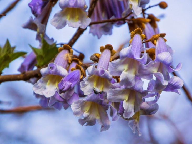 Квітуче дерево павловнії
