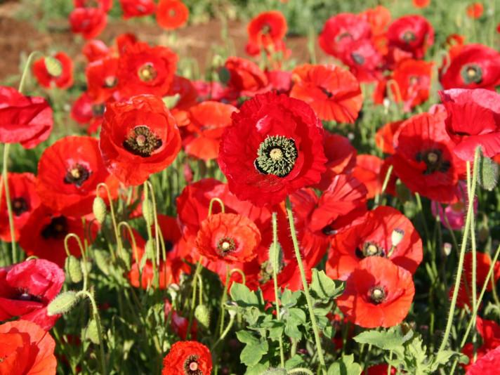 Червоний мак – символ пам'яті жертв Другої світової війни