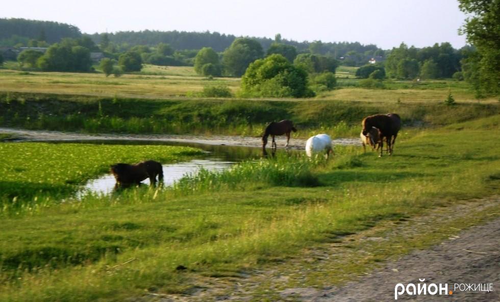 Табун коней поблизу річки Стохід